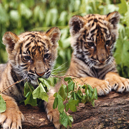 Little tigers actors at 10 weeks